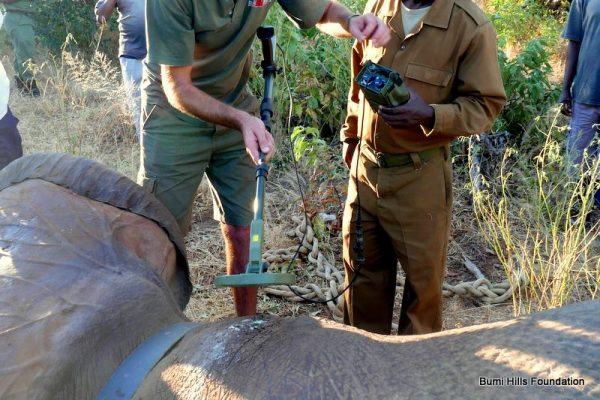 Ben The Elephant helped by Bumi Hills Anti-Poaching Unit Rangers and Wildlife Conservation Vet