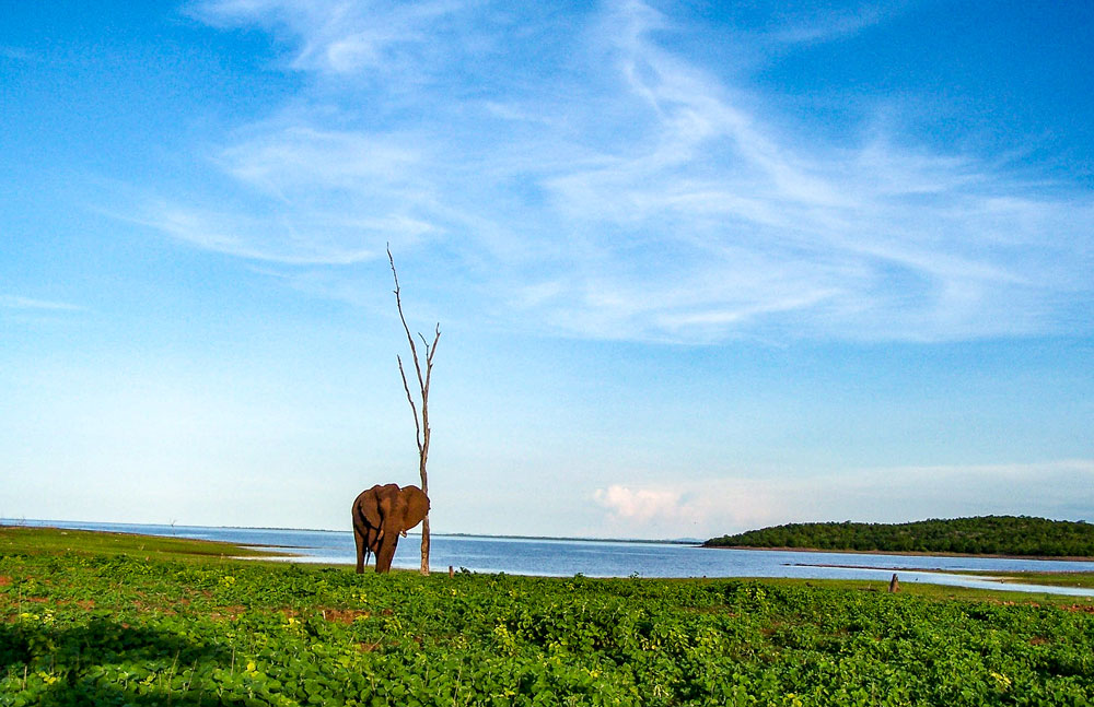 Lone Elephant Bull stands with petrified tree on the shores of Lake Kariba Zimbabwe Africa