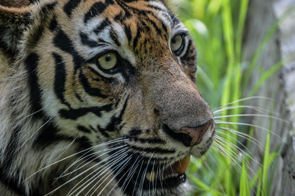 Sumatran Tiger Indonesia Wildlife Protection Anti-Poaching for Bumi Hills Foundation