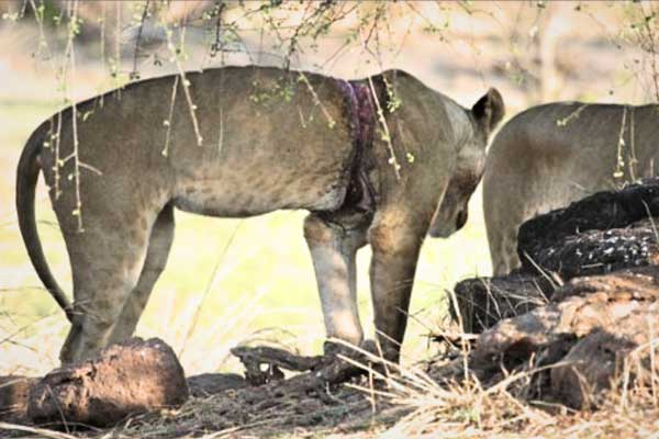 Bumi Hills Anti Poaching Unit Snared Lioness